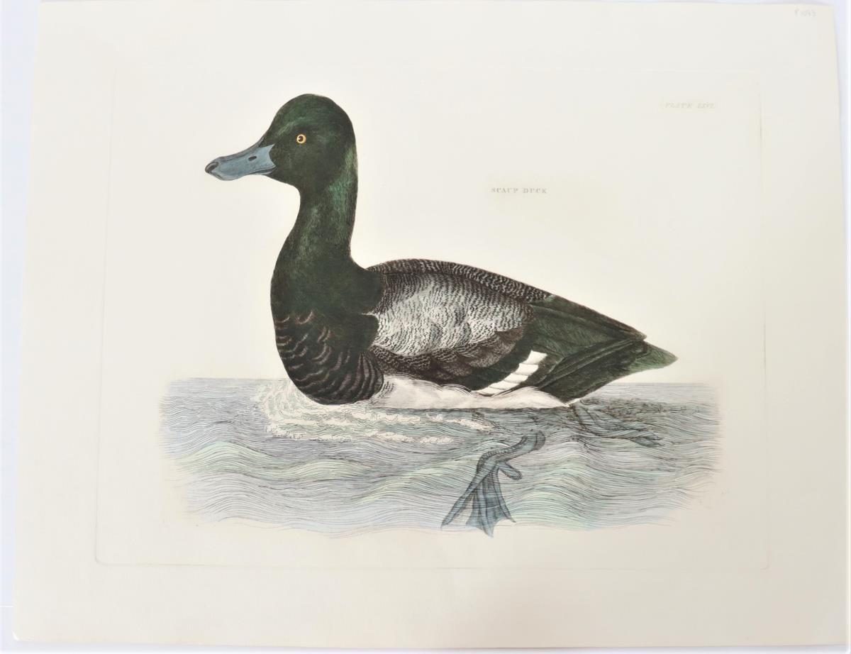 P J Selby, Hand-Colored Engraving, Scaup Duck 19th