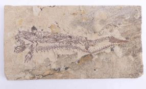 Fossil im Plattenkalk