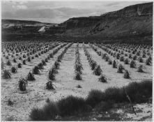 Adams - Corn Field, Indian Farm near Tuba City, Arizona 1941 2