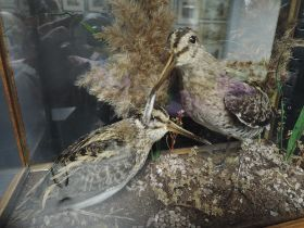 A pair of taxidermy cased Snipe on natural base in oak and glass case