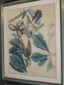 A print, after John J Audubon, Yellow Billed Cuckoo - Coccyzus Carolinenis, printed by W H Lizars,