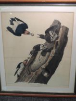 A print, after John J Audubon, Red Headed Woodpecker- Picus Erythrocephalus, printed/coloured by R