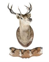 TAXIDERMY A large stag's head with ten point antlers on a timber shield. 89cm wide; together with
