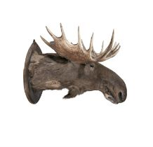 A LARGE TAXIDERMY MOOSE HEAD, 19TH CENTURY Inscribed verso with a presentation label,
