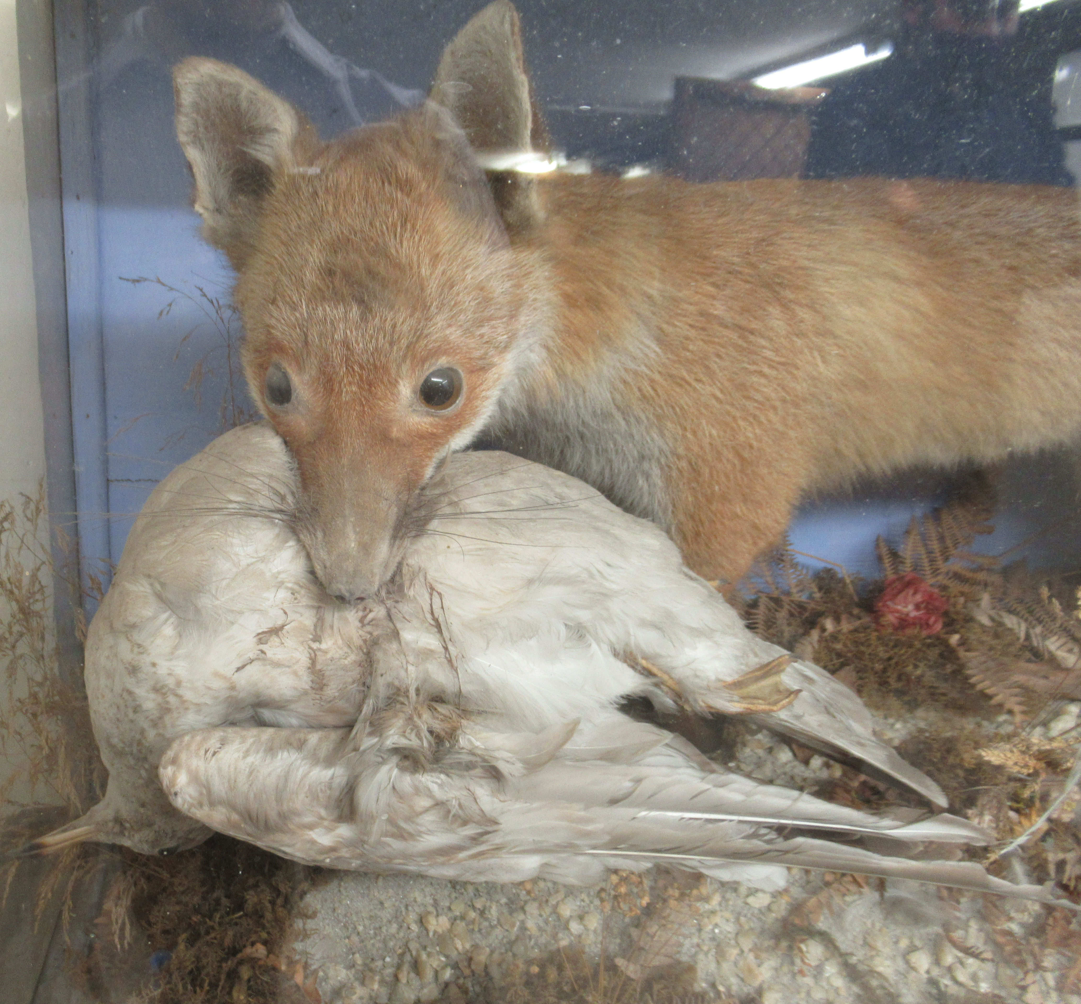 Taxidermy - a late 19th/early 20thC fox with captured prey, displayed in a naturalistic setting - Image 2 of 5