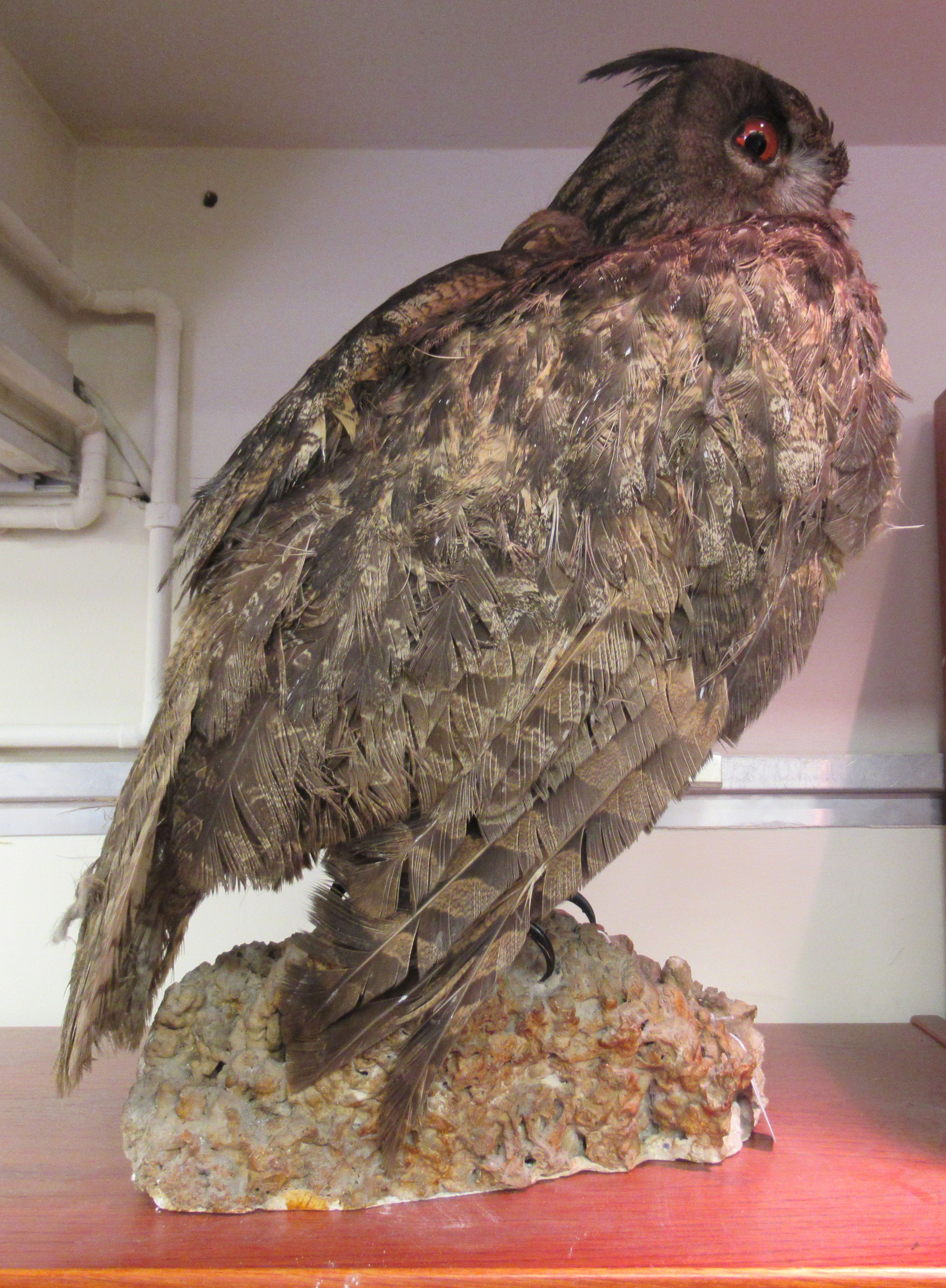 """Taxidermy: a late Victorian Long Eared Owl, on a naturalistic rock plinth 18""""h overall - Image 2 of 4"""