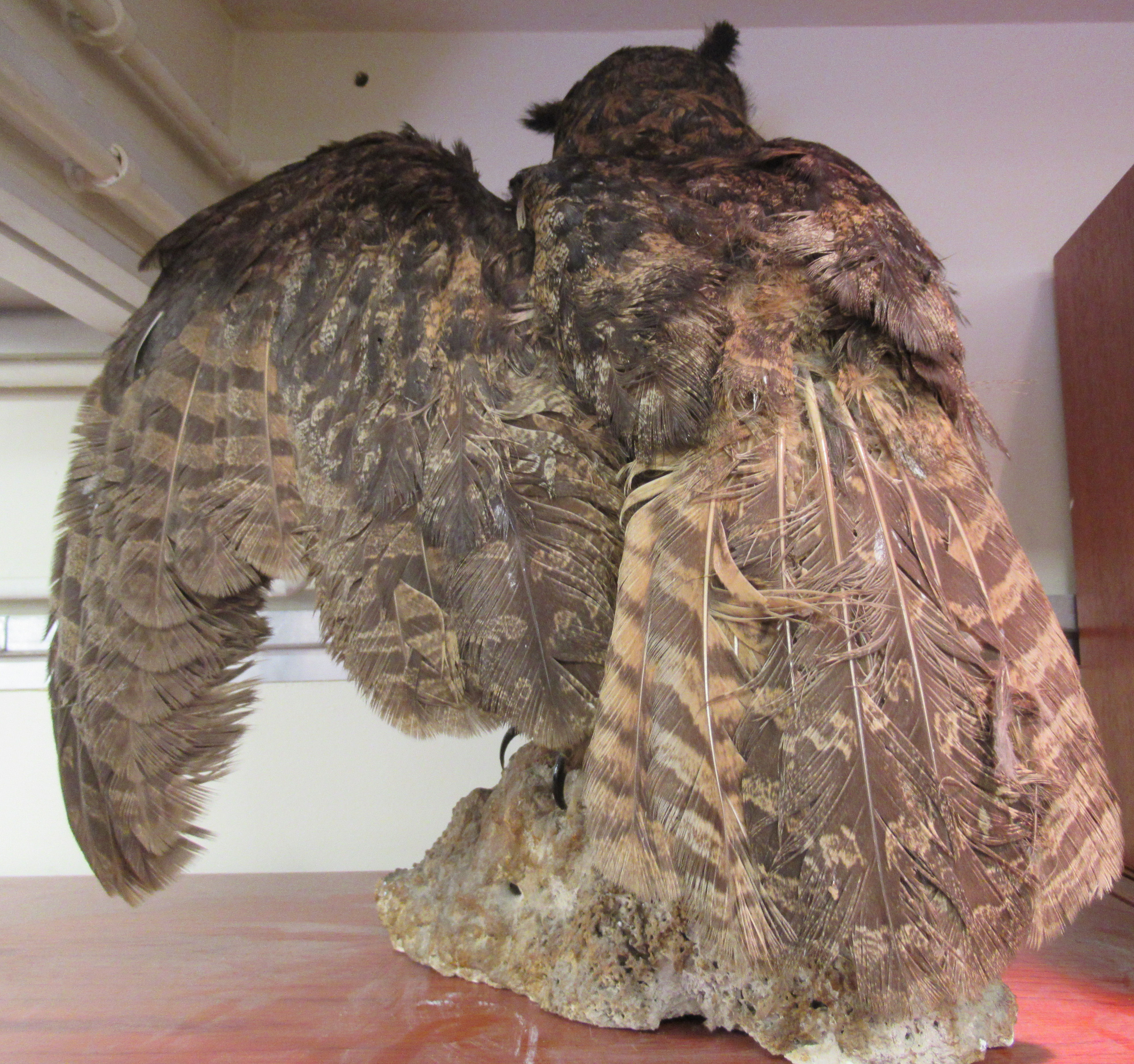 """Taxidermy: a late Victorian Long Eared Owl, on a naturalistic rock plinth 18""""h overall - Image 3 of 4"""