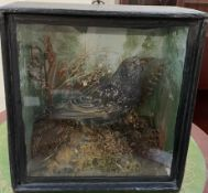 Taxidermy - A starling on a rock with vegetation in the background, cased,
