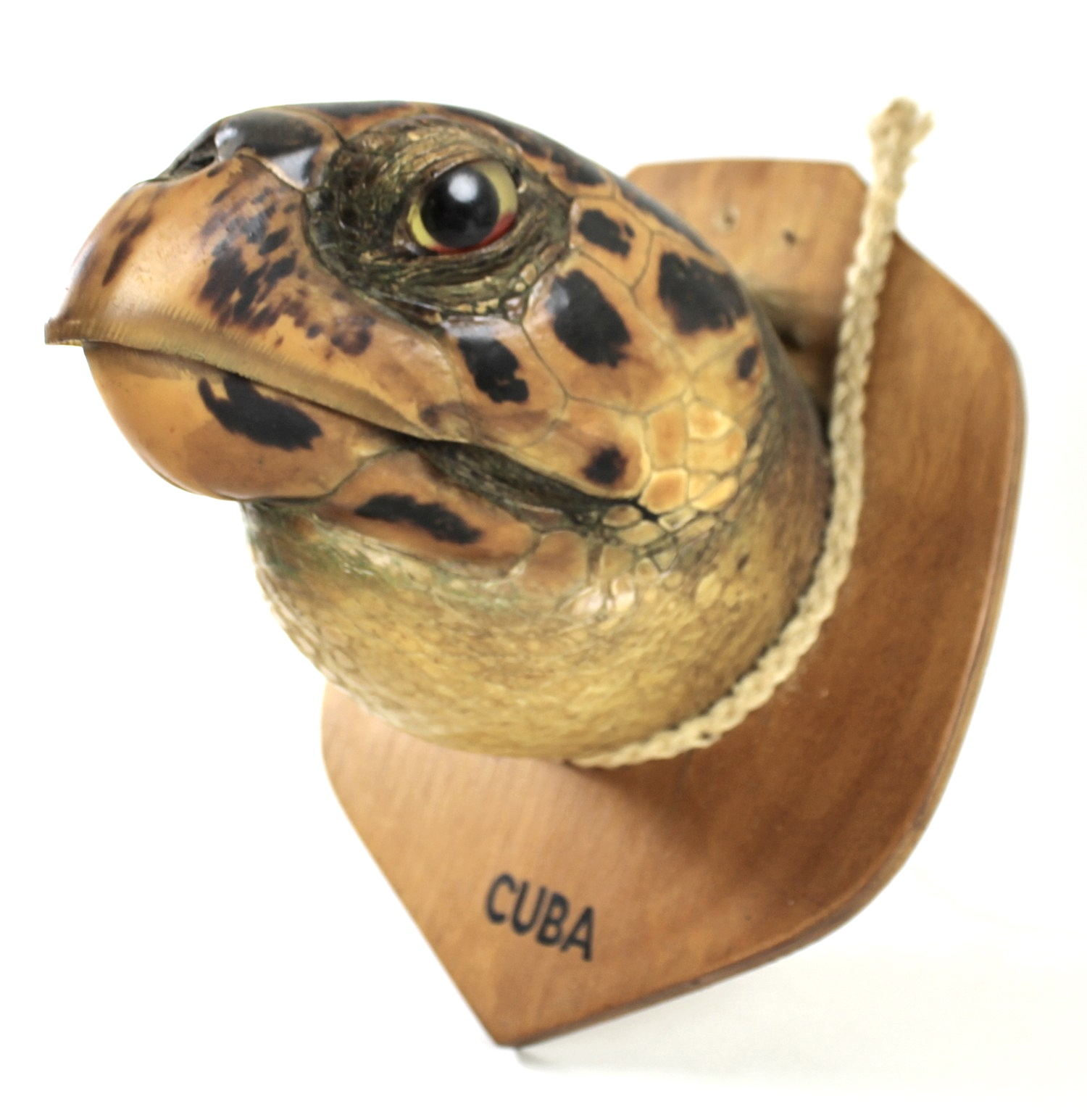 Taxidermy: a Cuban Hawksbill Turtle head, mounted upon a shield, 20 by 14cm. - Image 3 of 3
