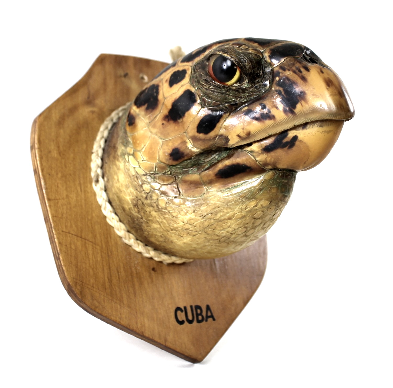 Taxidermy: a Cuban Hawksbill Turtle head, mounted upon a shield, 20 by 14cm.