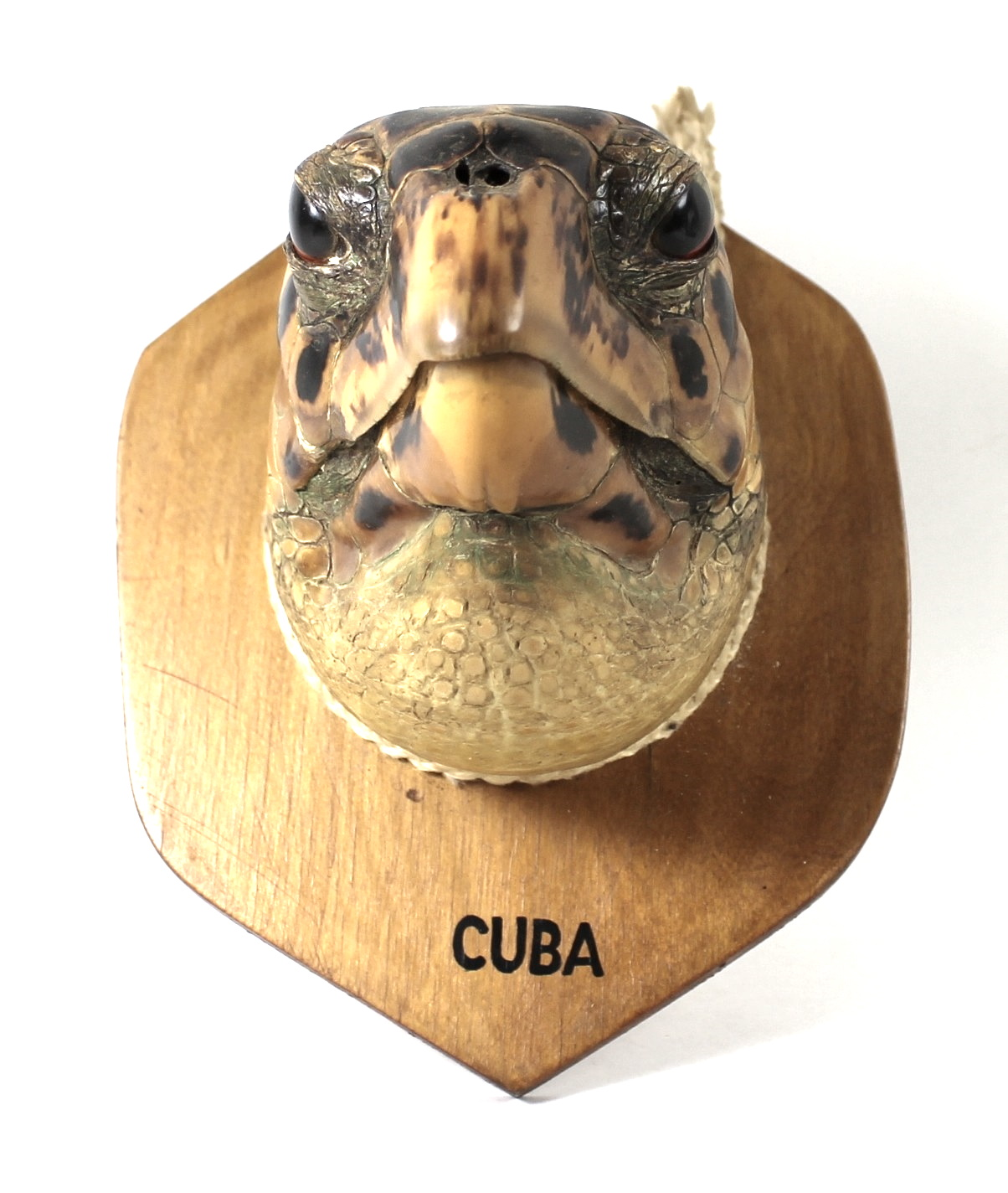 Taxidermy: a Cuban Hawksbill Turtle head, mounted upon a shield, 20 by 14cm. - Image 2 of 3