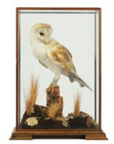 TAXIDERMY; A BARN OWL WITH ARTICLE 10 TRANSACTION CERTIFICATE NO. 250022/03