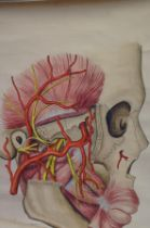 Large anatomical hand painted watercolour on paper