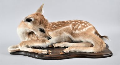 A Taxidermy Study of a Roe Fawn Deer, Reclining on Wooden Plinth, 54cm Long