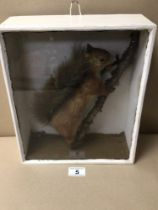 CASED TAXIDERMY OF A RED SQUIRREL