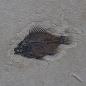 A large 50 million year old Eocene-era Priscacara liops fossilised fish stone panel, from the