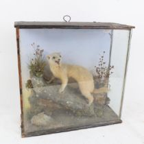 TAXIDERMY - an albino polecat, in naturalistic surround, with glazed case by Fred Sanders, H31.