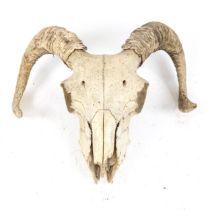 TAXIDERMY - a ram sheep skull and horns, skull length 20cm