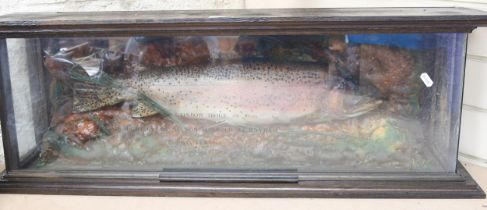 TAXIDERMY - a rainbow trout, 5lb 10oz, caught by Mr Nelson Harbour at Bayham, May 14th 1989, in