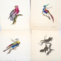4 x 19th century watercolours, detailed studies of exotic birds, including New South Wales parrot
