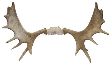 A pair of mid 20th Century North American moose antlers