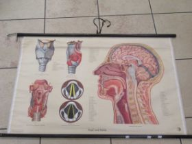 A mid-20th century German anatomy chart and three carved walnut? boules