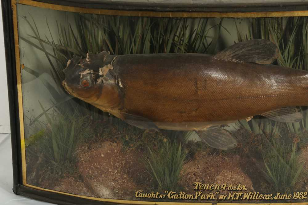 TAXIDERMY: A CASED TENCH, EARLY 20TH CENTURY - Image 2 of 2