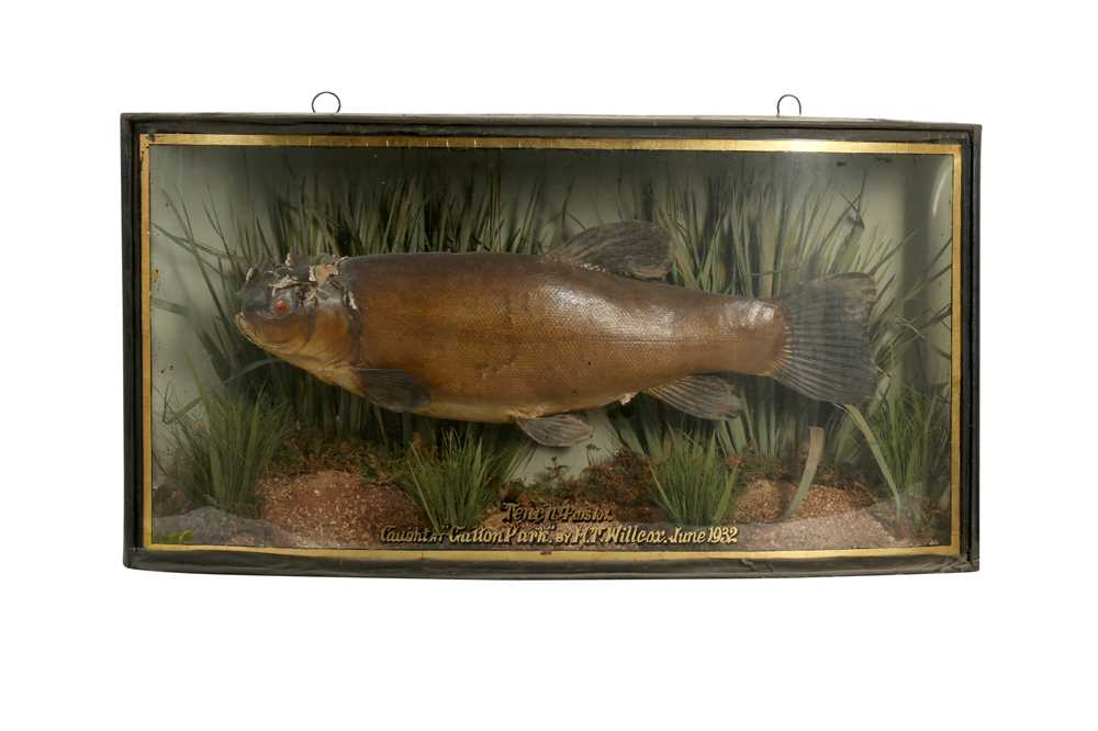 TAXIDERMY: A CASED TENCH, EARLY 20TH CENTURY
