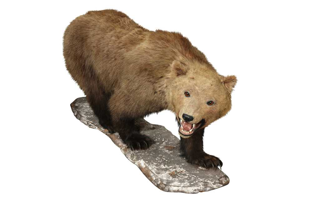 TAXIDERMY: GRIZZLY BROWN BEAR (URSUS ARCTOS), LATE 19TH CENTURY, FULL MOUNT ON ALL FOURS