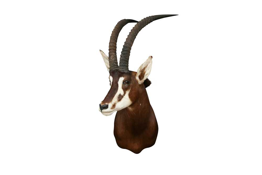 TAXIDERMY: SOUTHERN SABLE ANTELOPE( HIPPOTRAGUS NIGER NIGER)