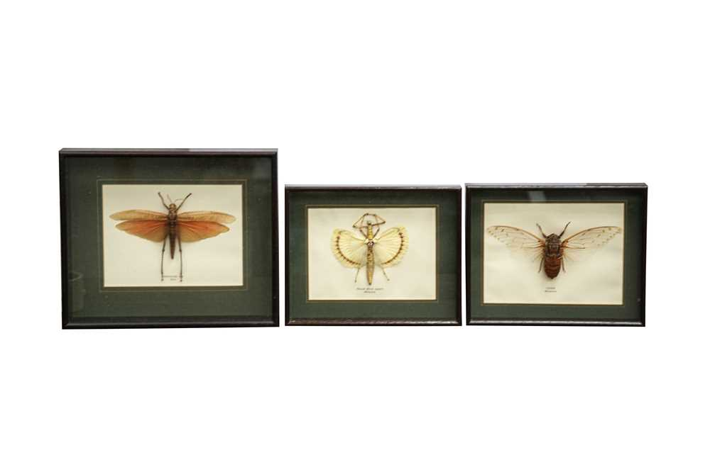 TAXIDERMY/ ENTOMOLOGY: THREE WINGED INSECTS IN GLAZED DISPLAY CASES