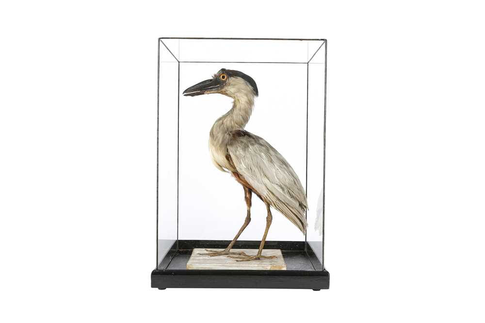A VICTORIAN TAXIDERMY BOAT BILLED HERON