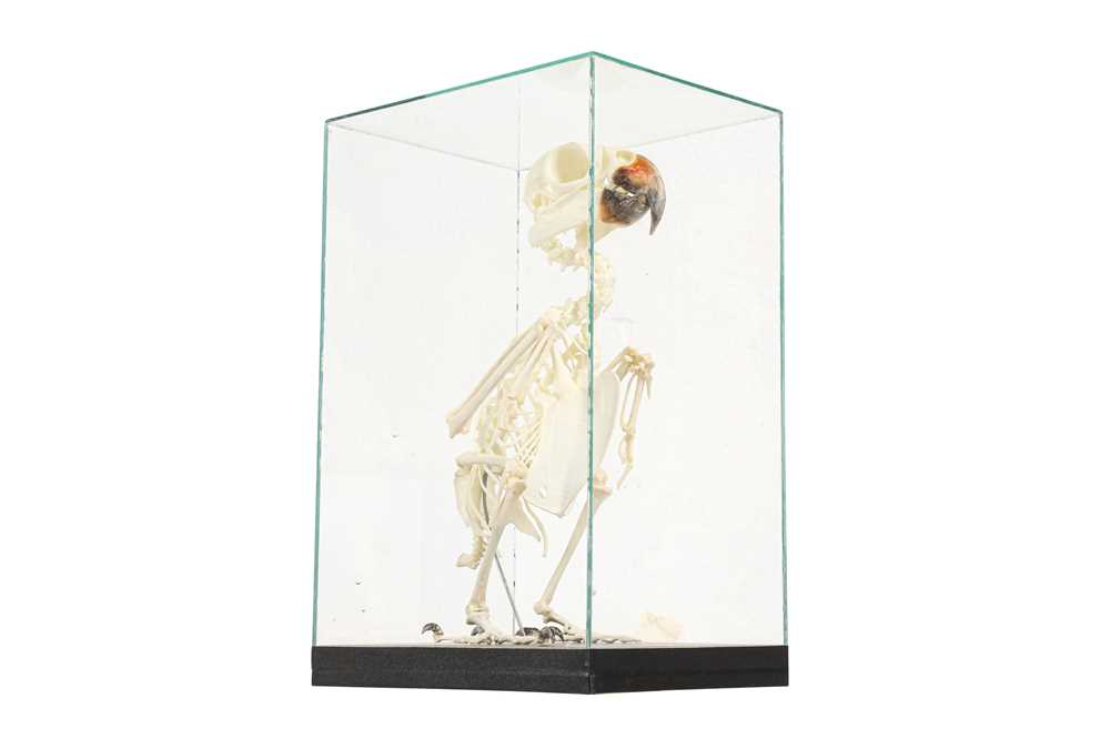 THE SKELETON OF AN AMAZON PARROT IN A GLASS CASE