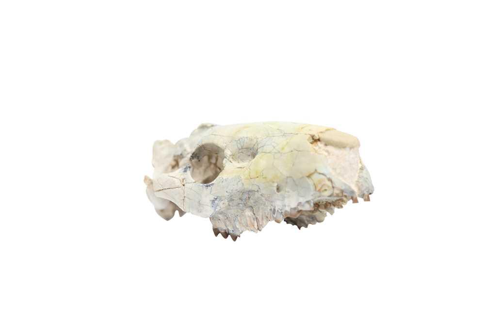 AN OREODONT SKULL - Image 2 of 5