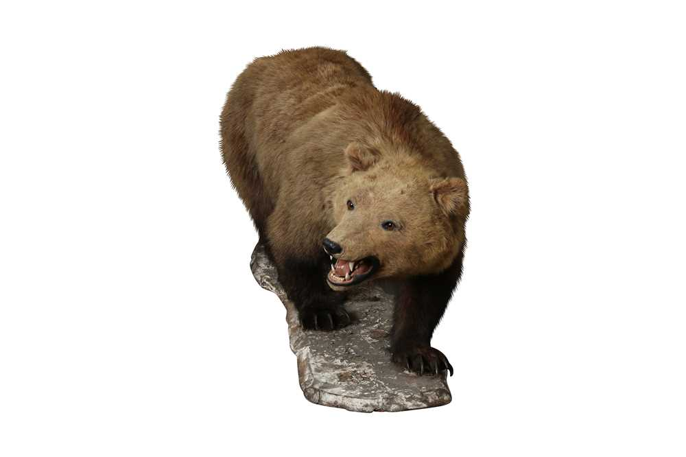TAXIDERMY: GRIZZLY BROWN BEAR (URSUS ARCTOS), LATE 19TH CENTURY, FULL MOUNT ON ALL FOURS - Image 3 of 3