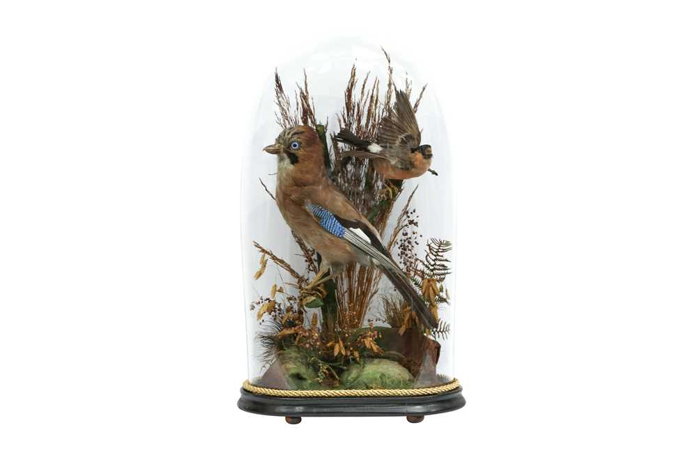TAXIDERMY: A VICTORIAN JAY AND BULLFINCH IN GLASS DOME - Image 4 of 5