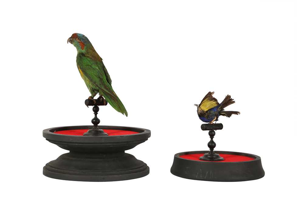 A VICTORIAN TAXIDERMY MUSK LORIKET TOGETHER WITH A RED LEGGED HONEY CREEPER - Image 5 of 5