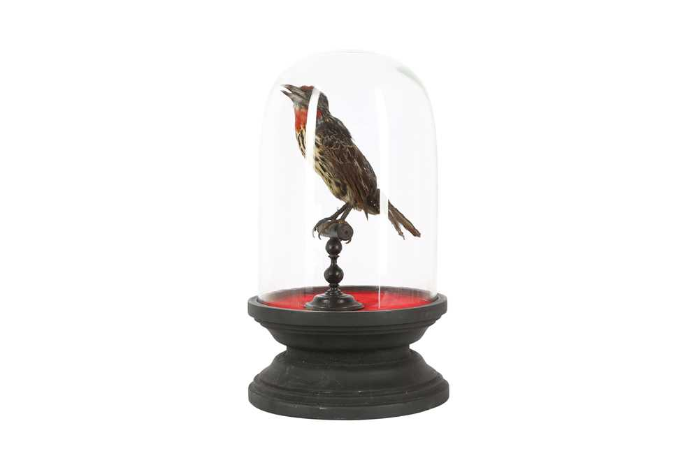 A VICTORIAN TAXIDERMY BLACK SPOTTED BARBET - Image 2 of 5