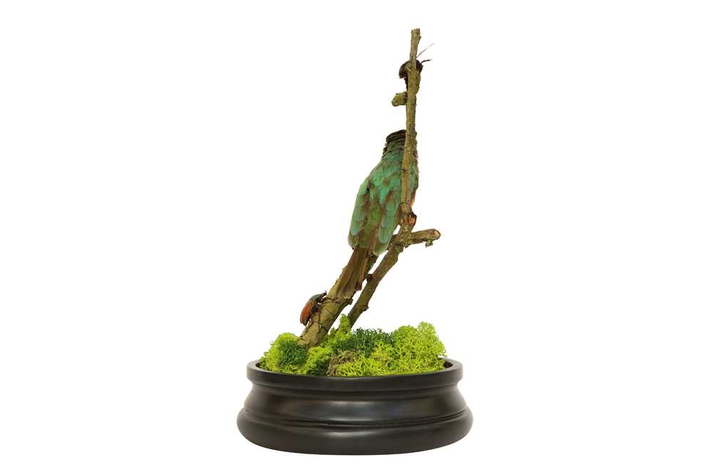 TAXIDERMY: A LITTLE BEE-EATER (MEROPS PUSILLUS) IN GLASS DOME - Image 5 of 5