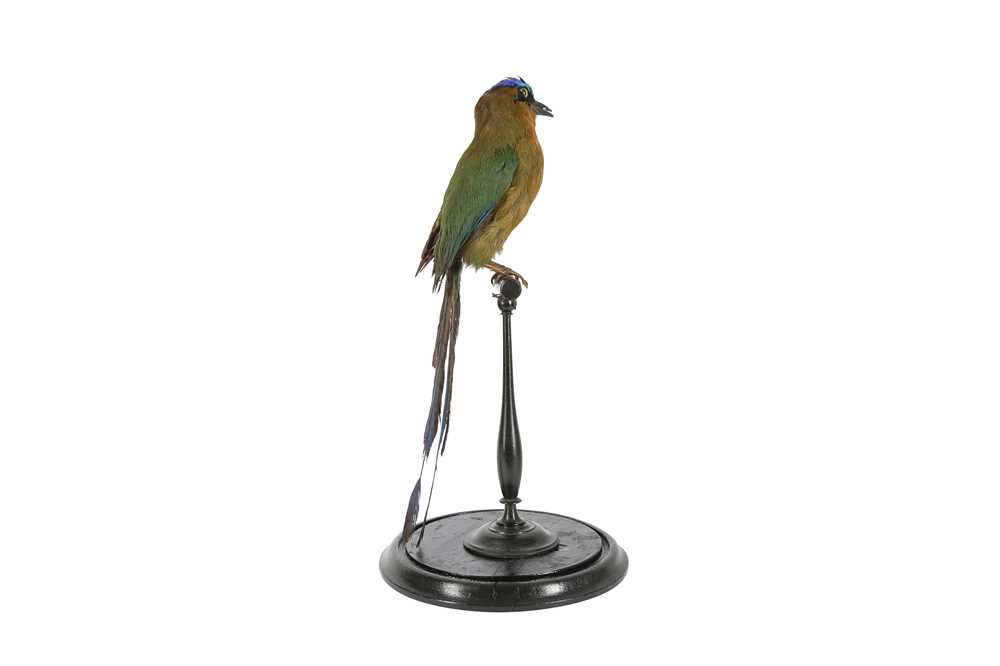 A VICTORIAN TAXIDERMY AMAZONIAN MOT MOT IN DOME - Image 5 of 5