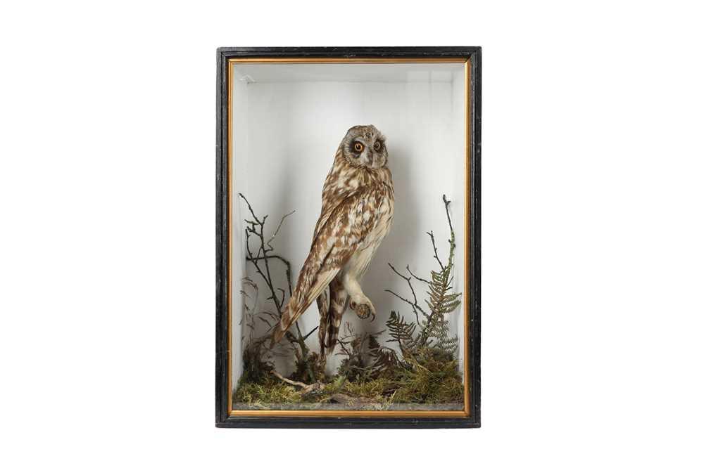 A VICTORIAN TAXIDERMY SHORT EARED OWL