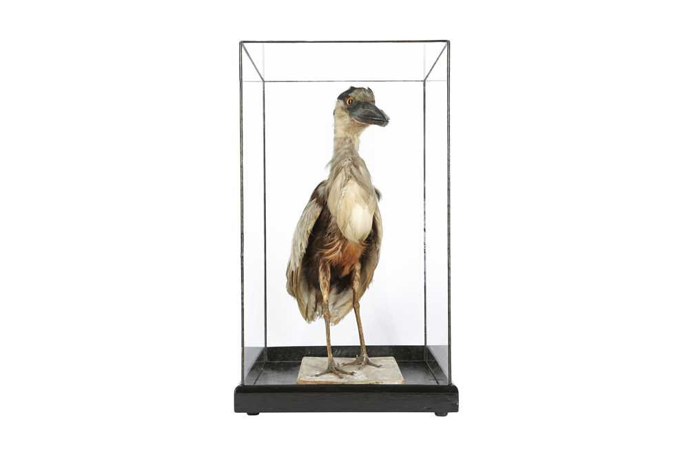 A VICTORIAN TAXIDERMY BOAT BILLED HERON - Image 4 of 4