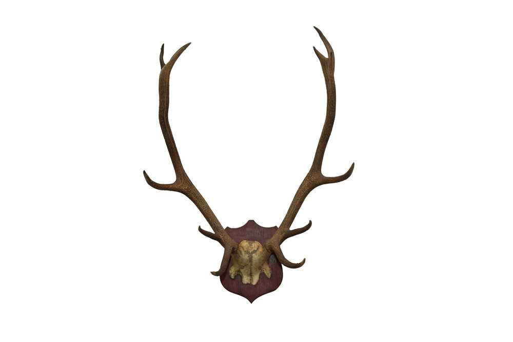 TAXIDERMY: A PAIR OF RED STAG ANTLERS