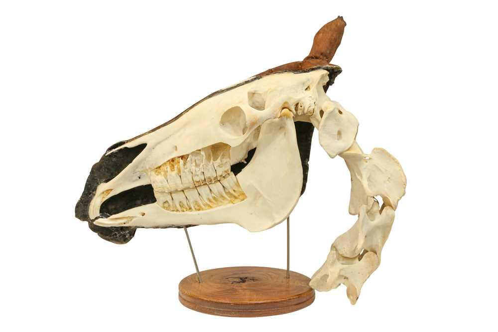 TAXIDERMY: A UNIQUE COMPARATIVE ANATOMY HORSE HEAD - Image 3 of 3