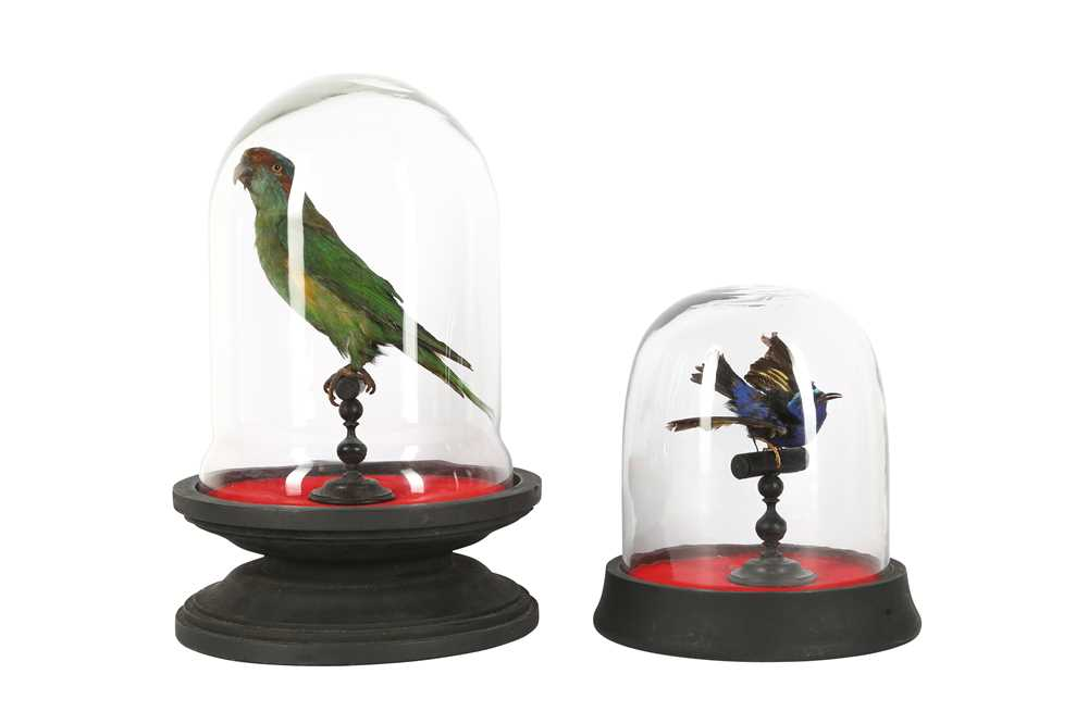 A VICTORIAN TAXIDERMY MUSK LORIKET TOGETHER WITH A RED LEGGED HONEY CREEPER - Image 2 of 5