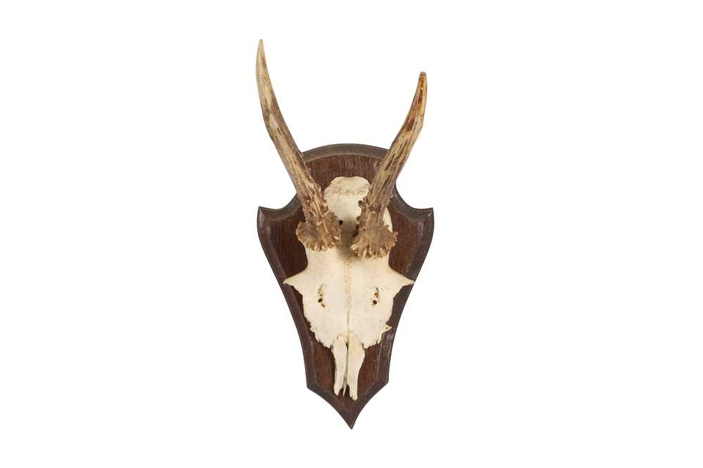 A COLLECTION OF FIVE ROE DEER ANTLERS ON SHIELDS - Image 3 of 6
