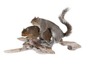 TAXIDERMY: 'AMOROUS SQUIRRELS'