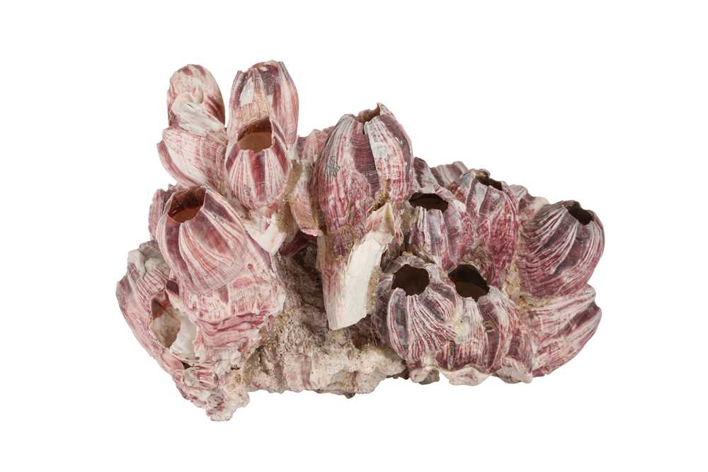 A LARGE NATURAL PURPLE ACORN BARNACLE CORAL CLUSTER