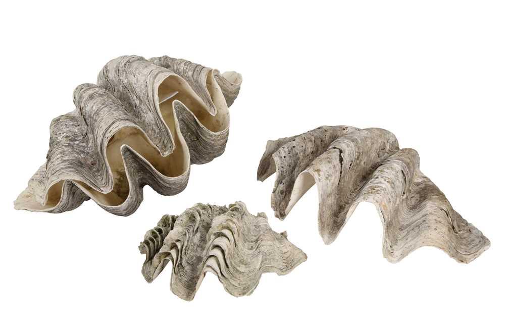 FOUR GIANT CLAM SHELLS (TRIDACNA GIGAS)