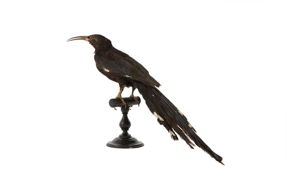 A VICTORIAN TAXIDERMY GREEN WOOD HOOPOE - Image 3 of 4